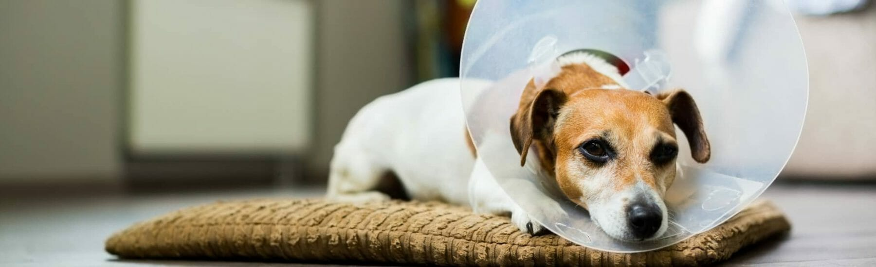 Dog wearing a cone and lying down